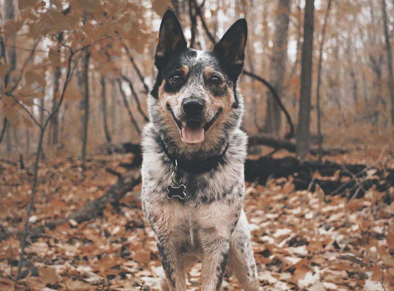 Giống chó nào thông minh nhất