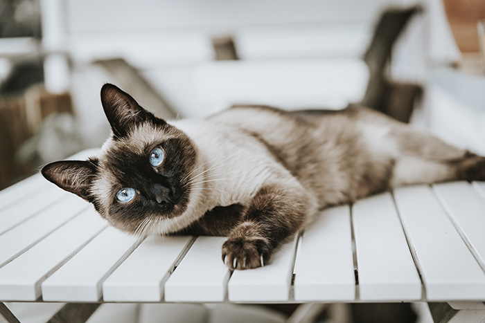 Giới thiệu tổng quan về mèo Xiêm Thái