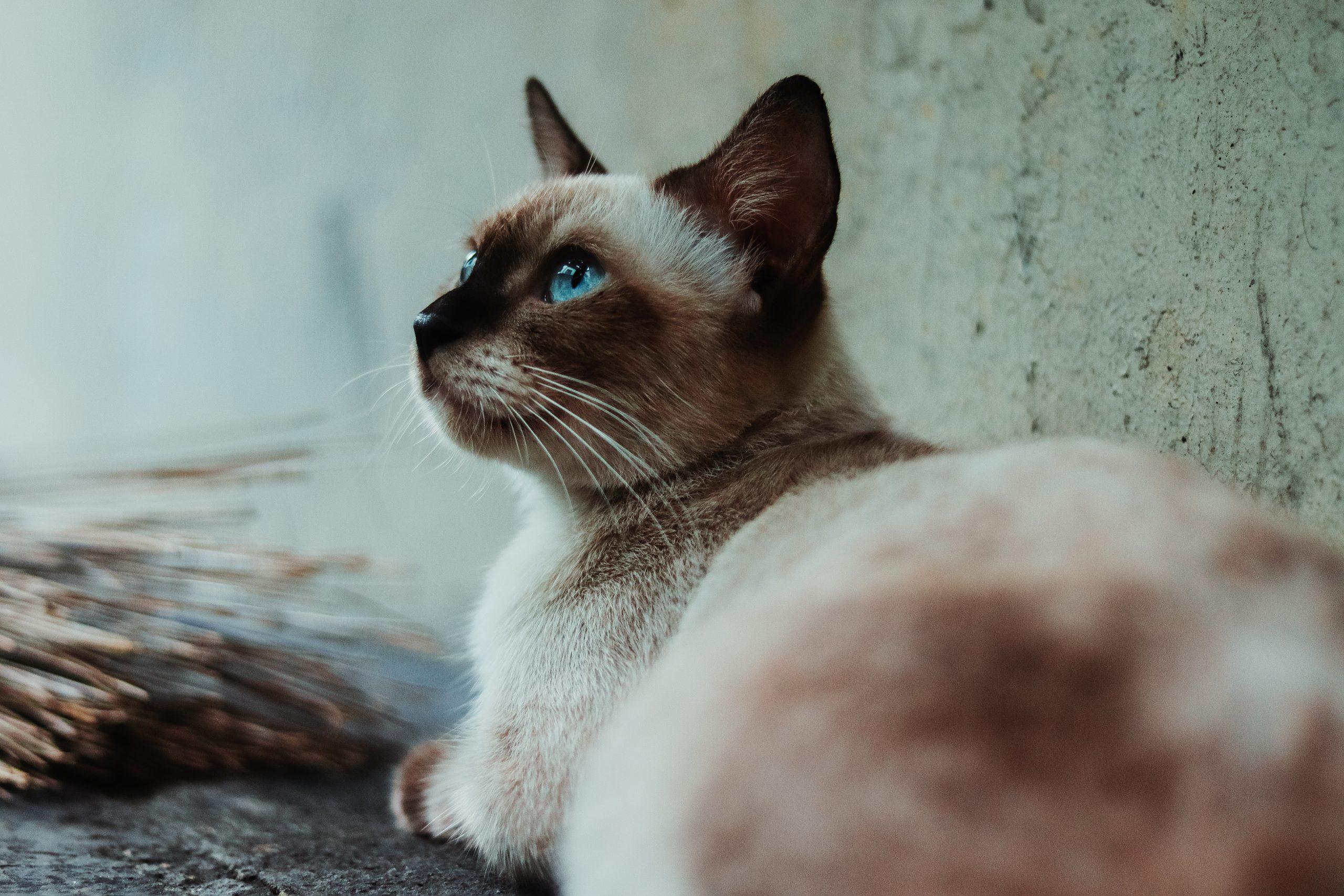 Lịch sử ra đời của mèo Xiêm Thái Lan