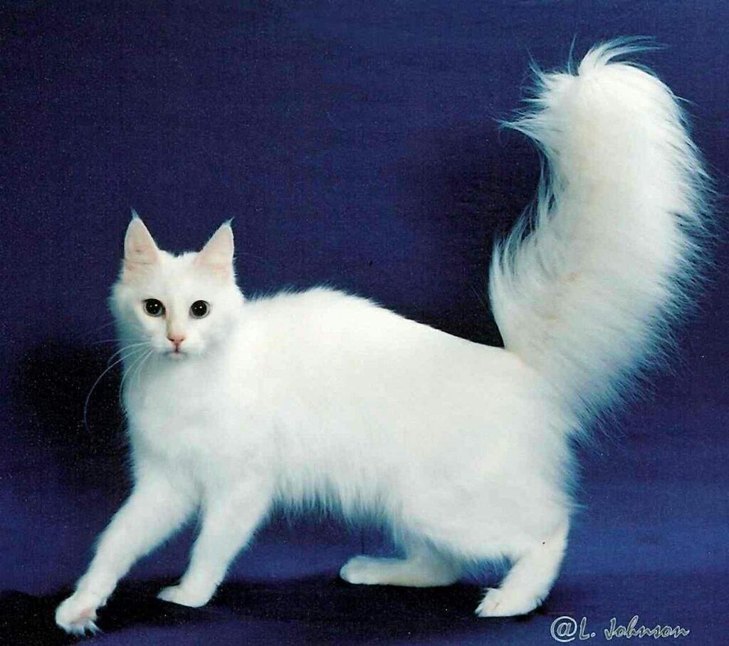 Mèo Angora Turkey