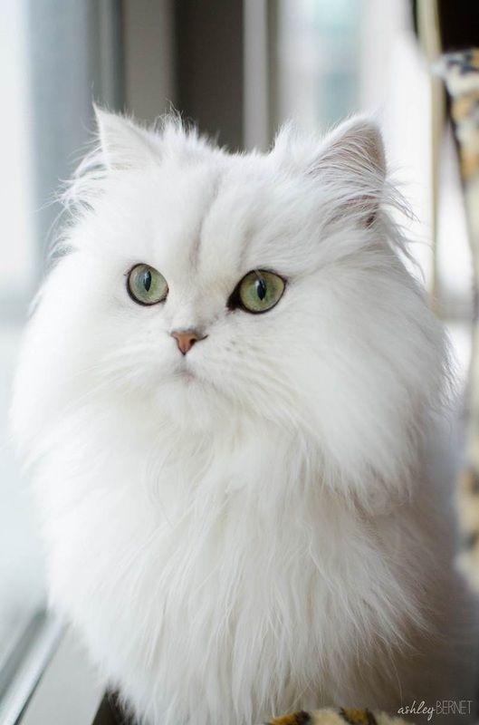 Giống mèo lông dài đẹp nhất thế giới