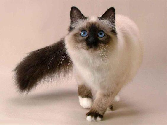 Mèo Balan - Balenese
