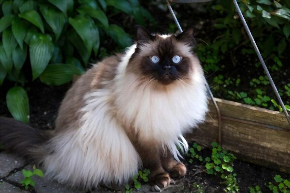Mèo Himalaya
