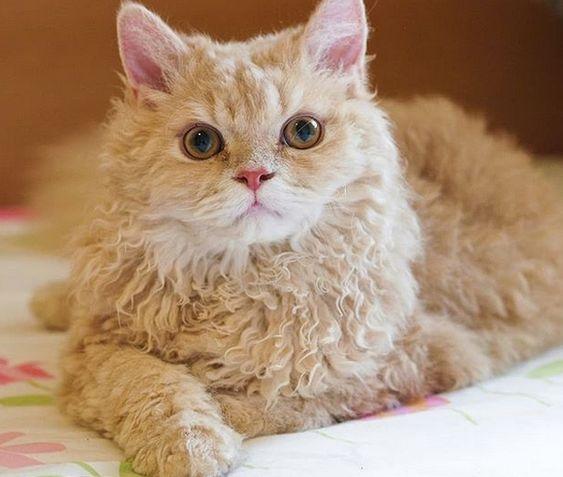 Mèo lông dài nào đẹp