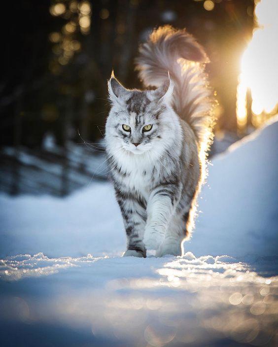 Maine Coon giống mèo lông dài đẹp nhất