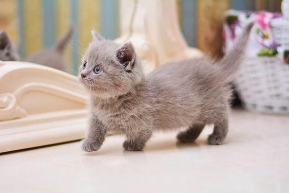 Mèo anh lông ngắn chân ngắn