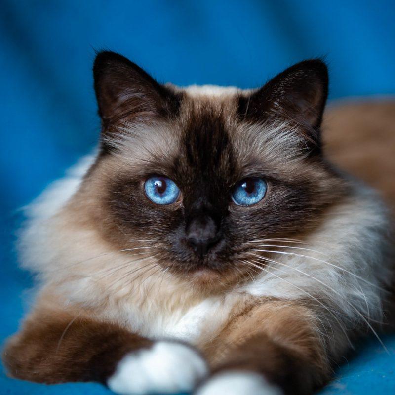 Điểm danh mèo lông dài đẹp