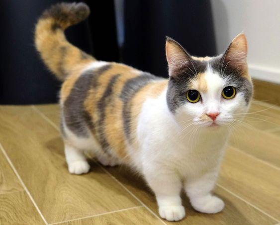 Mèo munchkin chân ngắn có bị bệnh di truyền không