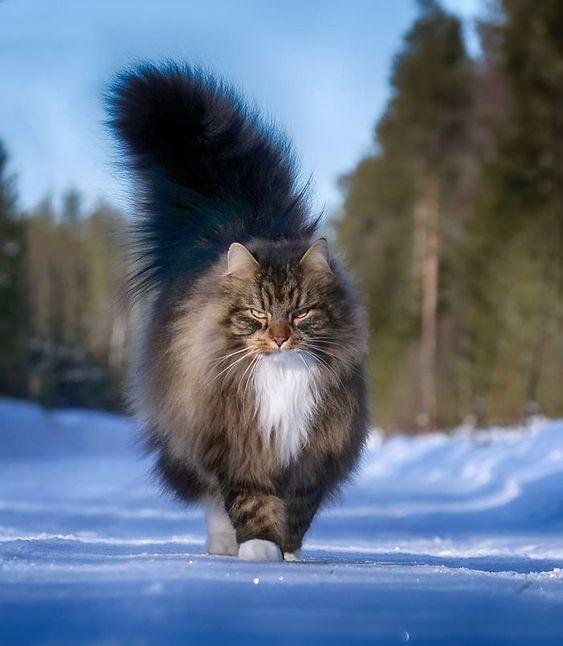 Các giống mèo lông dài đẹp nhất