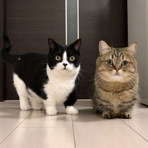 Tính cách của mèo Munchkin lùn
