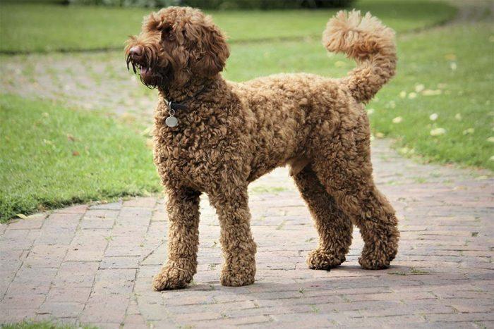 Chó Poodle thân thiện với hầu hết thú cưng