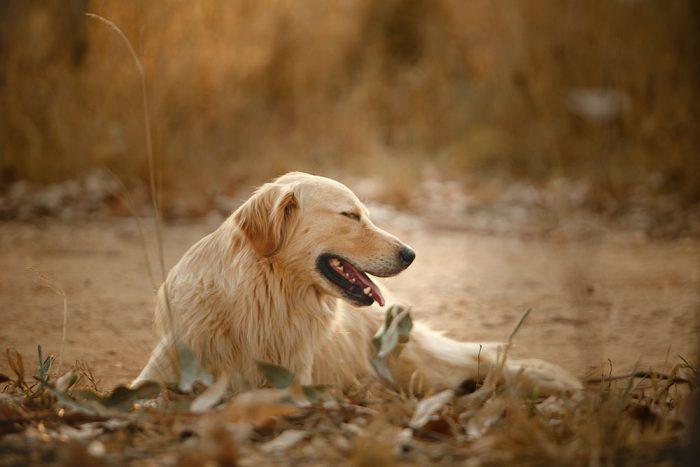 Chó golden retriever thân thiện và có thể sống hòa thuận với mèo