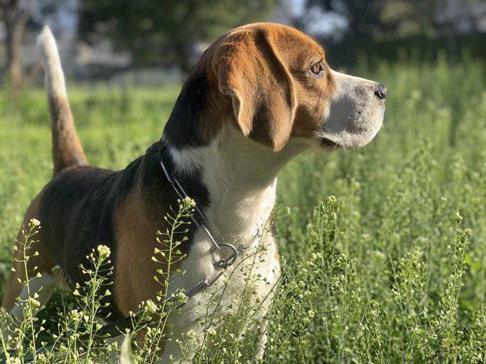 Chó Beagles có thể sống hòa thuận với mèo