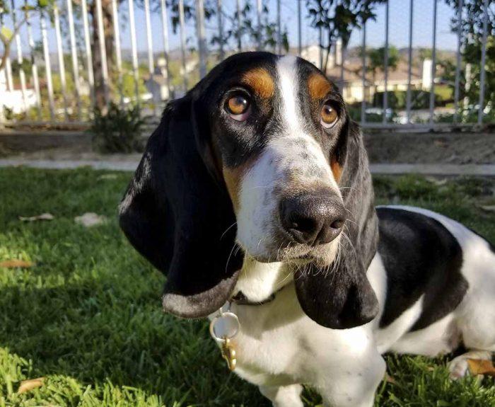 Chó săn Basset thân thiện với hầu hết thú cưng
