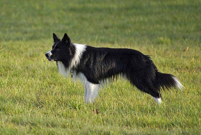 Chó Border Collie thông minh và thân thiện