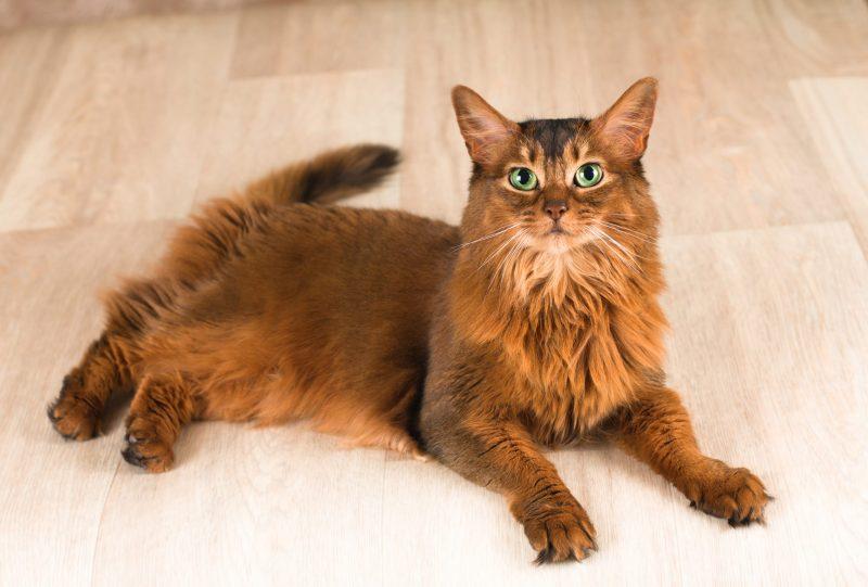 Giống mèo lông dài đẹp