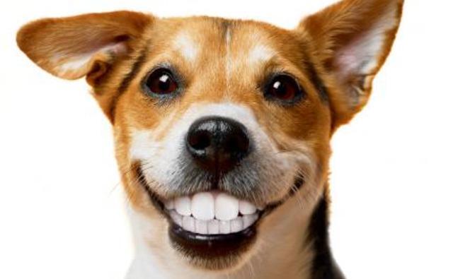 Làm thế nào khi răng chó bị lung lay