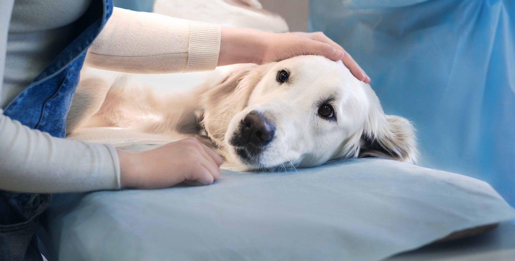 Cách chăm sóc chó sau khi triệt sản