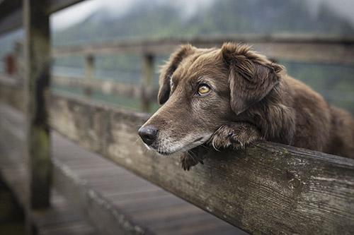 Tra cứu tuổi thọ của các giống chó