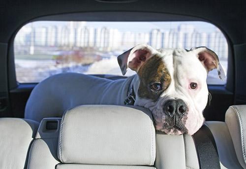 Chó run sợ khi ngồi xe