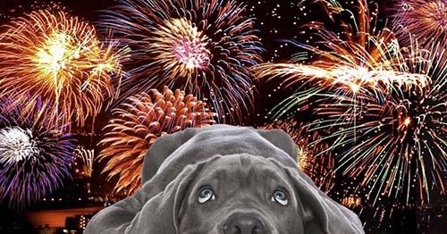 Chó sợ hãi khi nghe tiếng pháo bông -