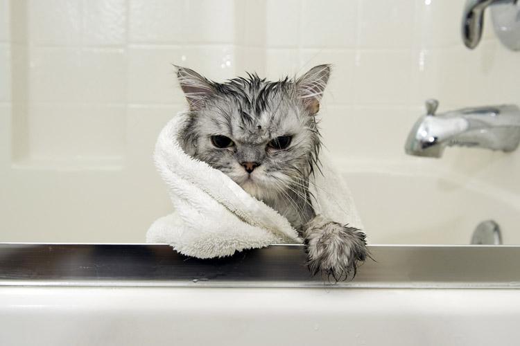 Đọc xong đảm bảo tắm được mèo 100%