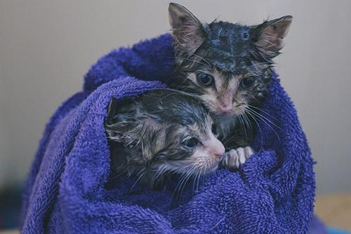 Khi nào thì nên tắm cho mèo con
