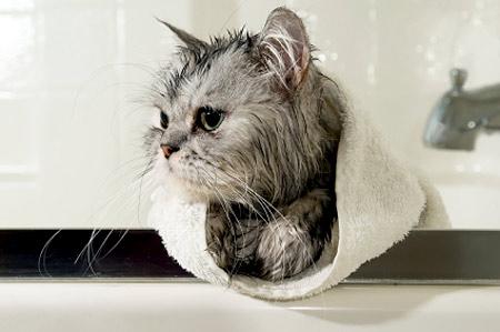 Những mẹo giúp tắm mèo đơn giản hơn