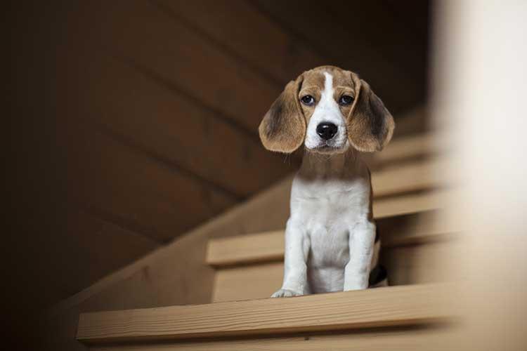 Nỗi sợ của chó khi lên xuống cầu thang