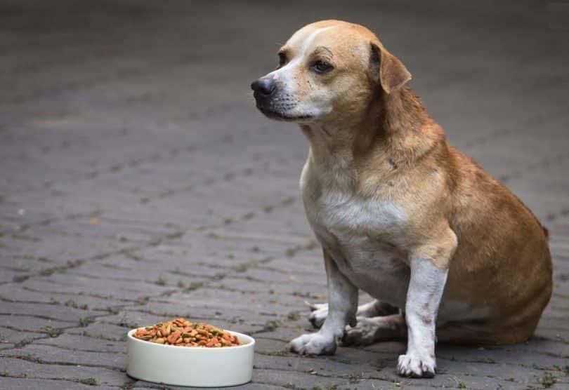 Cách giải quyết vấn đề khi chó biếng ăn