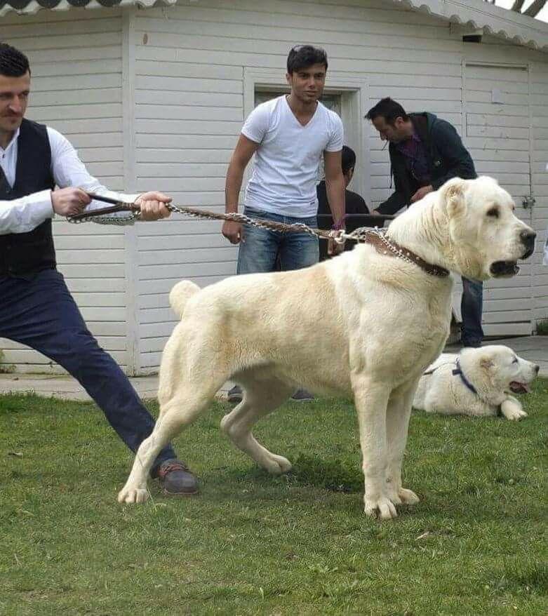 Chó khổng lồ Alabai