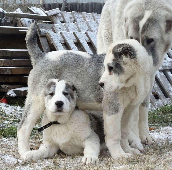 Nguồn gốc ra đời của chó Alabay