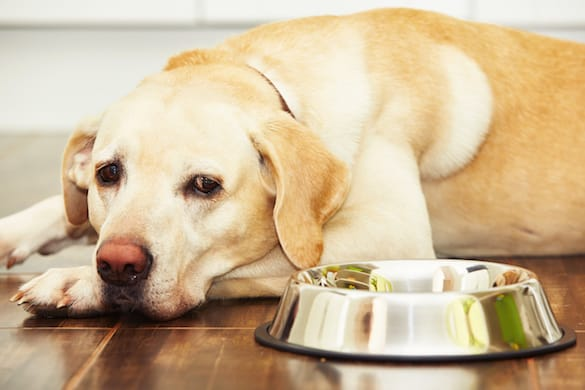 Những lí do khiến chó bỏ ăn