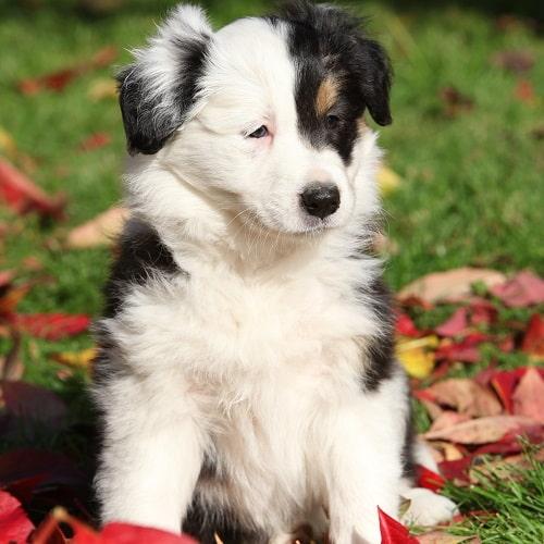 Các đặc điểm thuần chủng của chó Collie biên giới