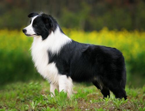 Giá bán của chó Border Collie là bao nhiêu