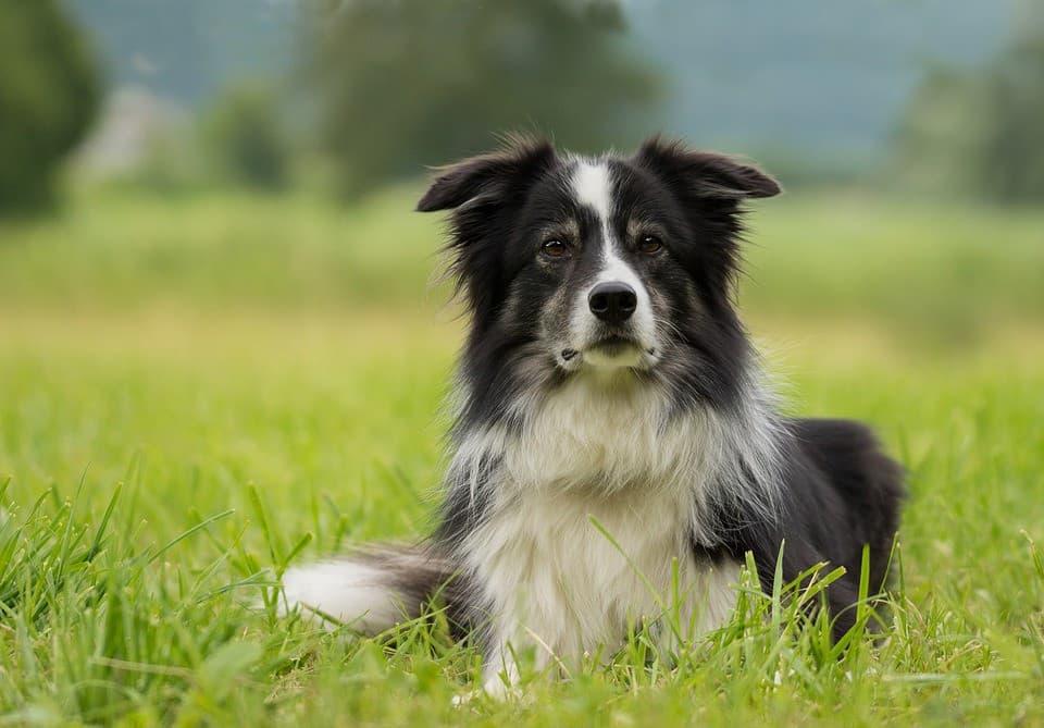 Hướng dẫn chăm sóc chó Collie biên giới cơ bản