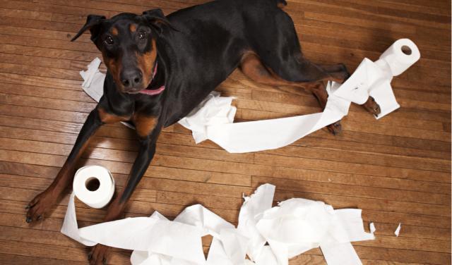 Phải làm gì khi chó bị tiêu chảy
