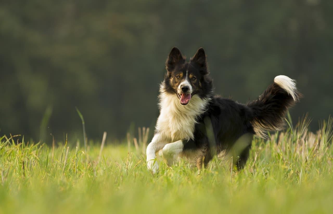Tìm hiểu giống chó thông minh nhất thế giới Border Collie
