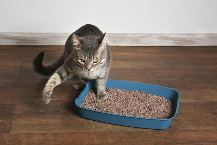 Cách dạy mèo đi vệ sinh đúng chỗ thành công 100%