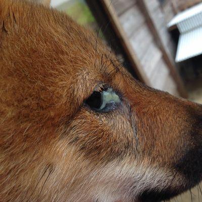 Chó bị đổ ghèn xanh phải làm sao