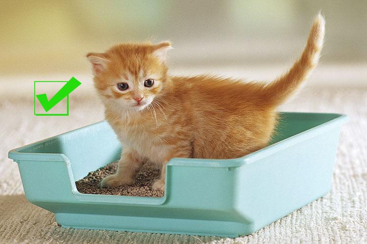 Hướng dẫn dạy mèo đi vệ sinh trong hộp cát