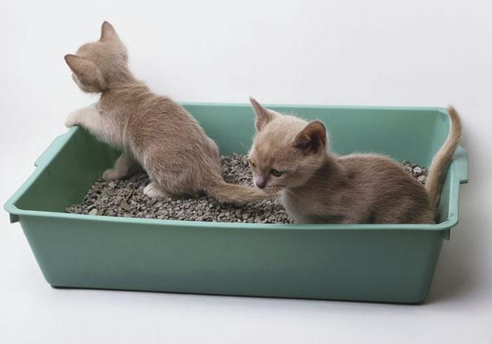 Làm thế nào để dạy mèo đi vệ sinh trong hộp cát