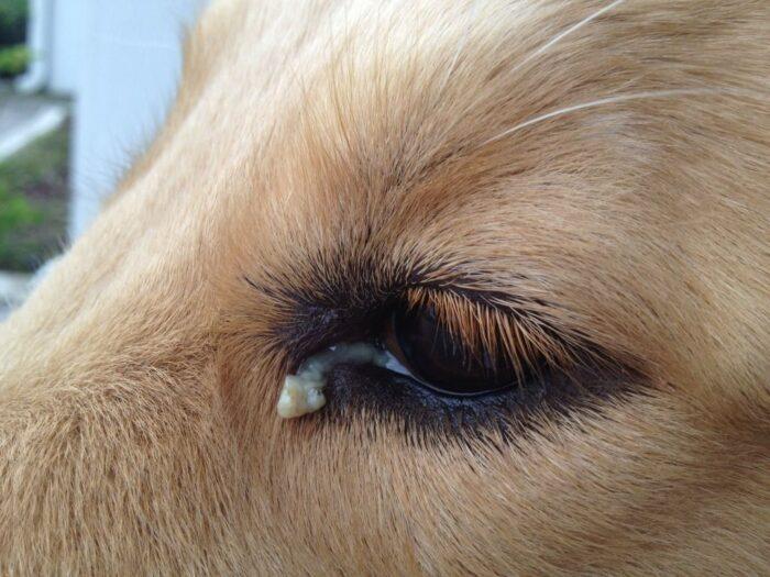 Những điều cần làm khi mắt chó đổ ghèn