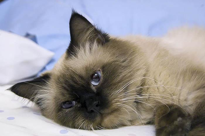 mèo-con-bị-nôn-phải-làm-gì