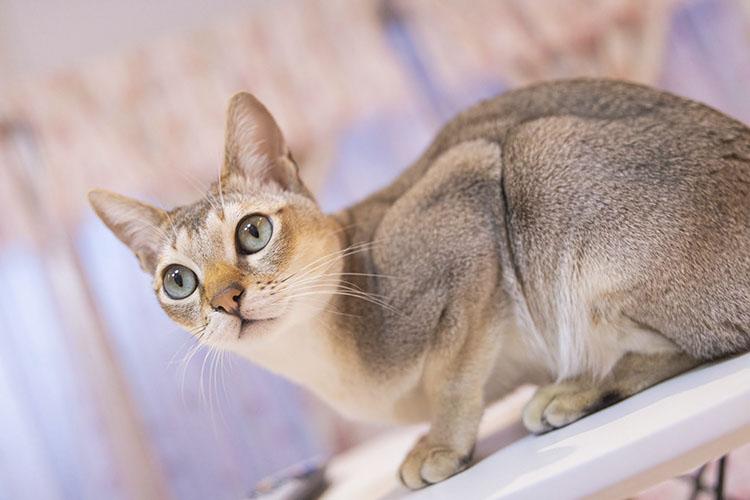 Giá bán của mèo Singapura