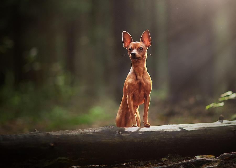 Những đặc điểm nổi bật của chó phốc hươu