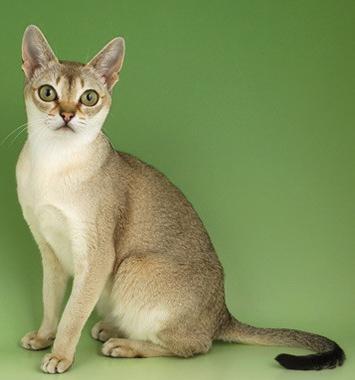 Thông tin về giống mèo singapure