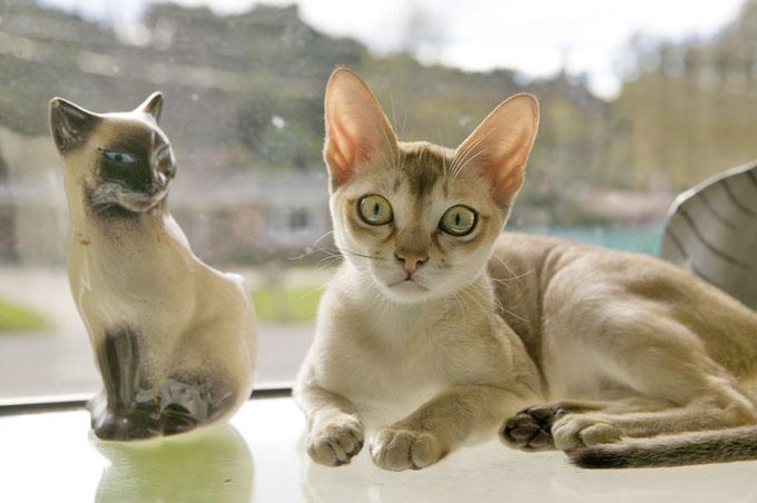 Tìm hiểu về giống mèo singapura