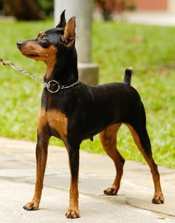 Tổng quan về giống chó Phốc Hươu (Min Pin)