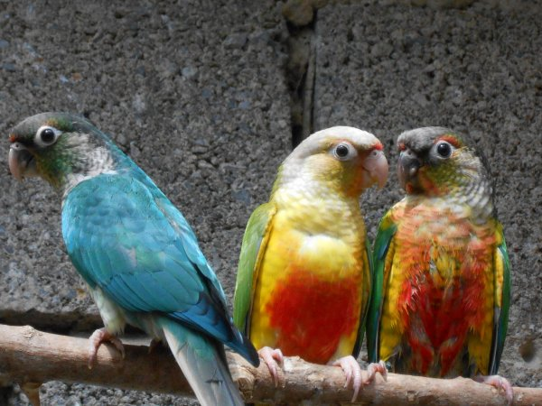Các màu sắc của vẹt Green Check